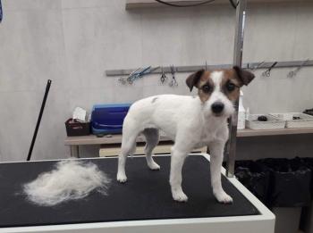 trymowanie jack russell terrier