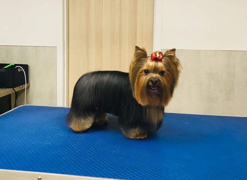 fryzura-york-terrier-01