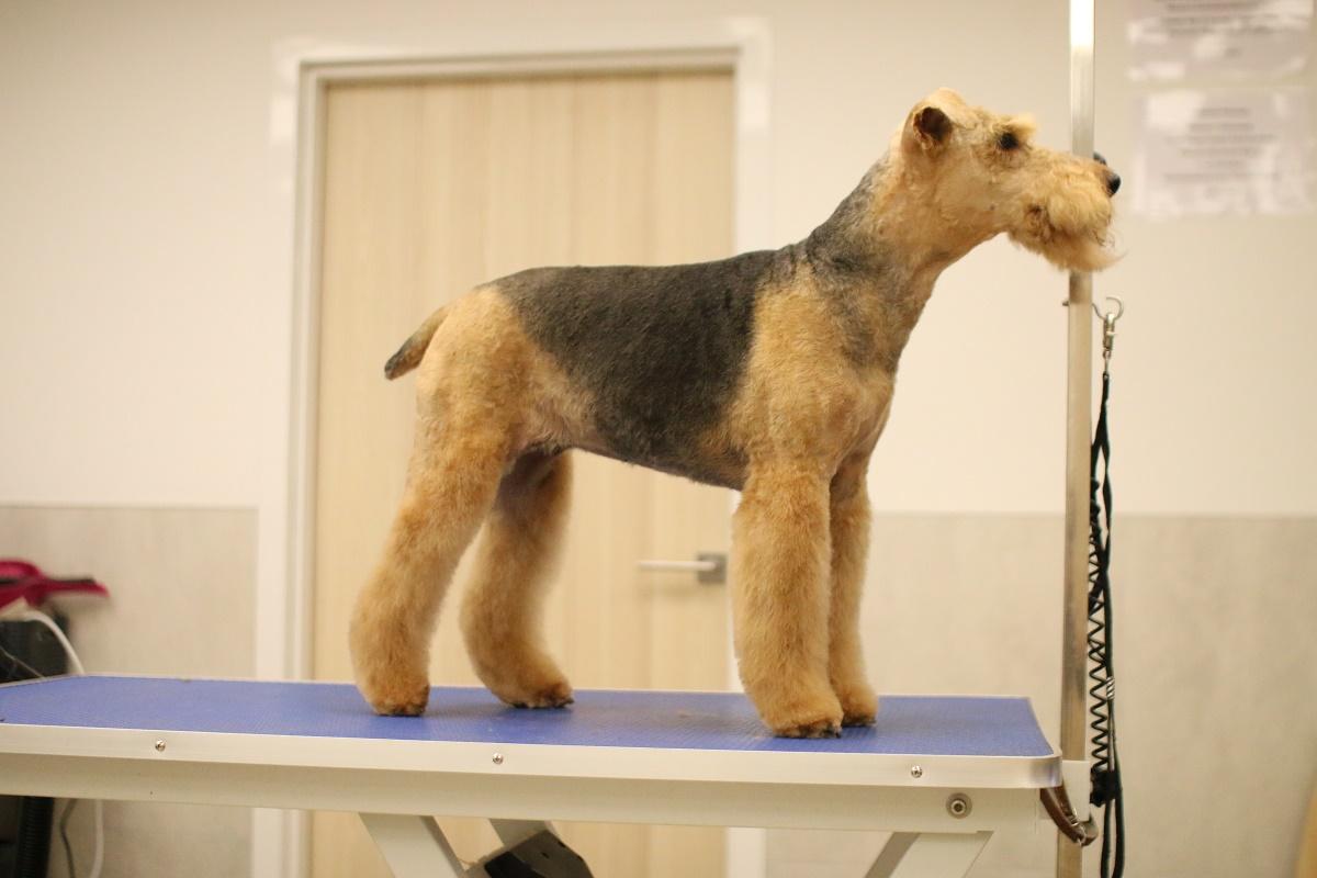 trymowanie-terrier-walijski-02
