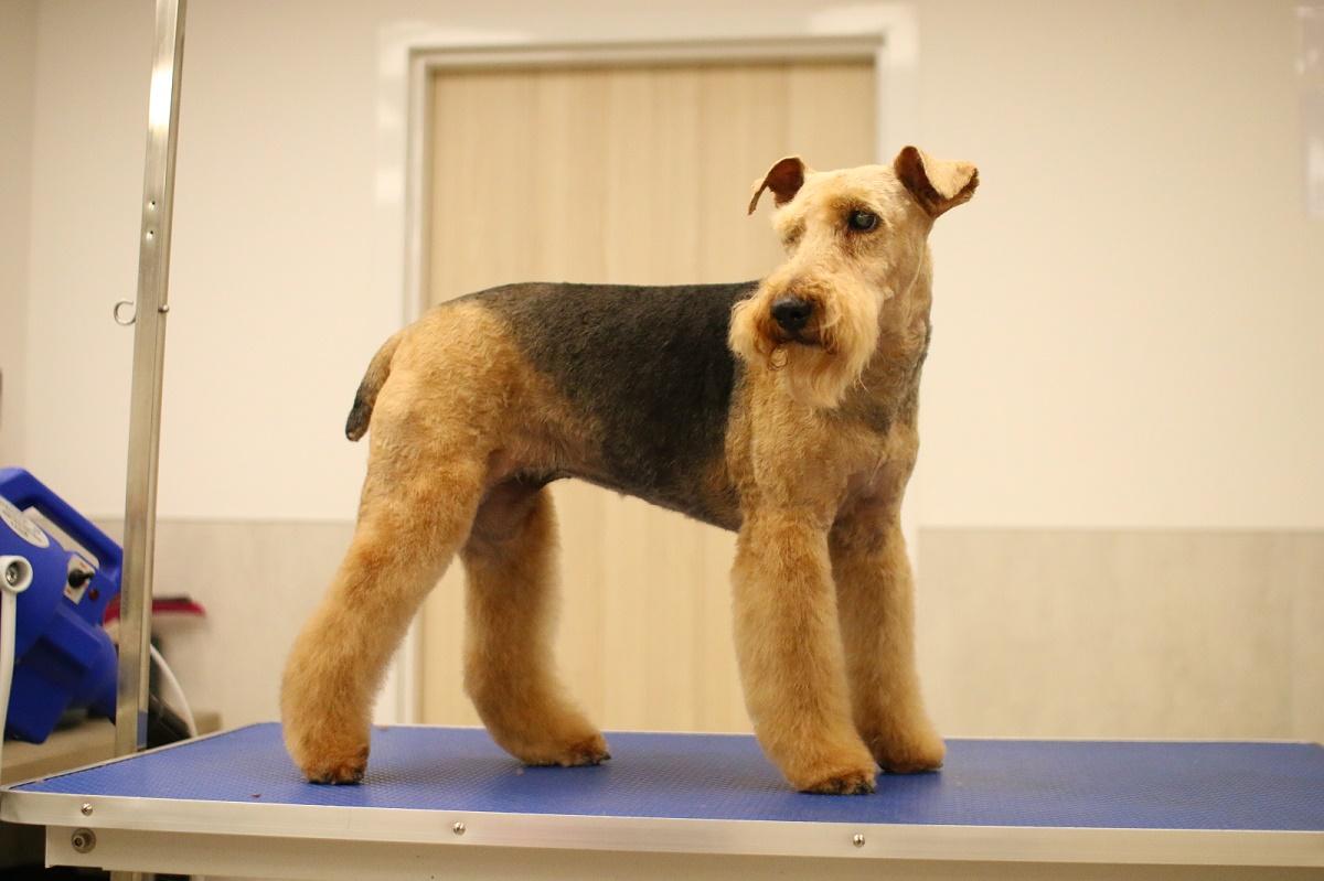 trymowanie-terrier-walijski-03